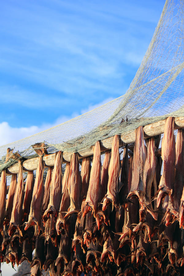Henningsvaer i Lofoten fish racks. Traditional Lofoten racks to hang the fish to get dry stock image