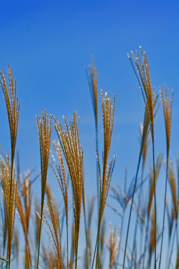 Heno de oro que mandila sobre el cielo azul foto de archivo