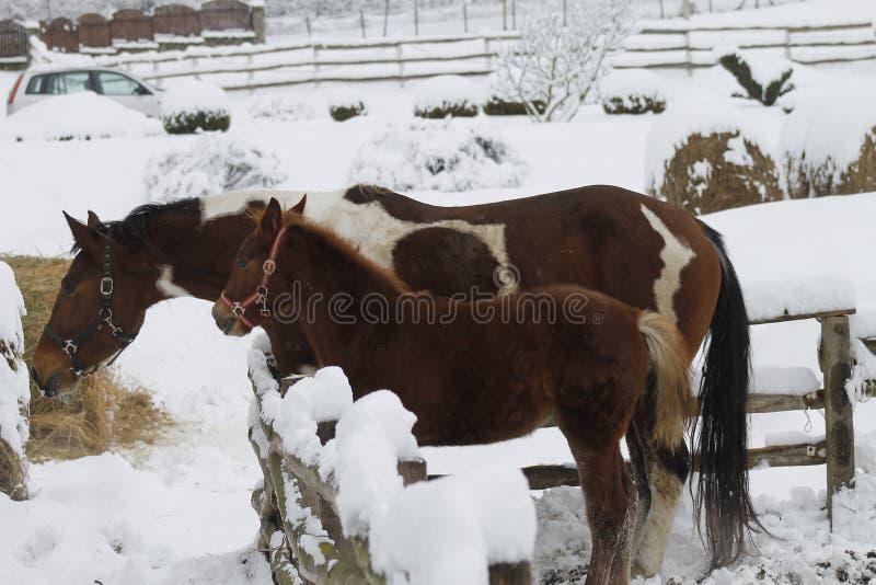 Heno que alimenta para los caballos islandeses en invierno imagen de archivo libre de regalías