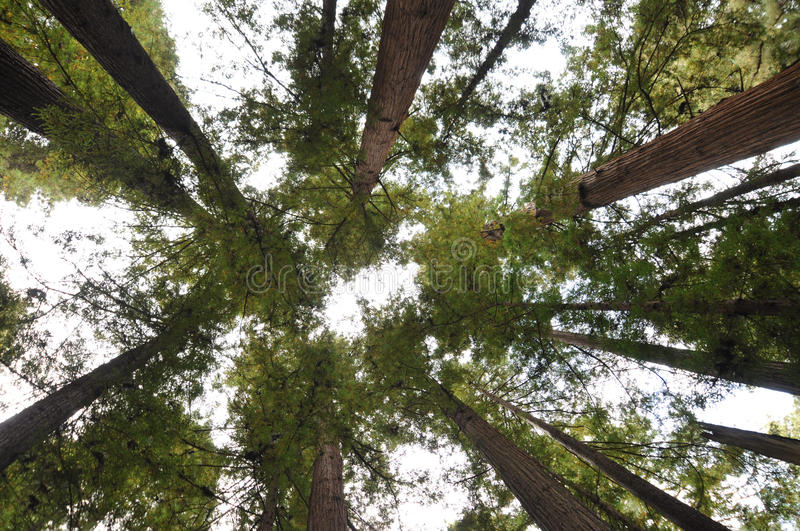 Henry Cowell Redwoods State Park, California stock photo