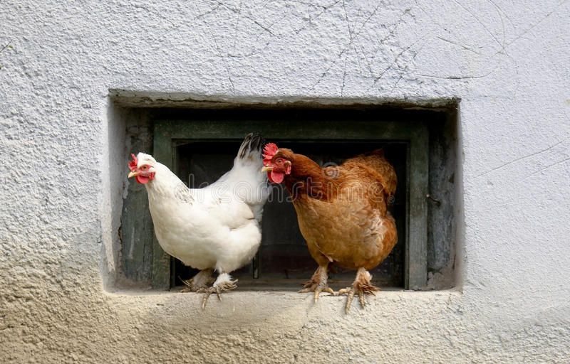 Hens stock photo