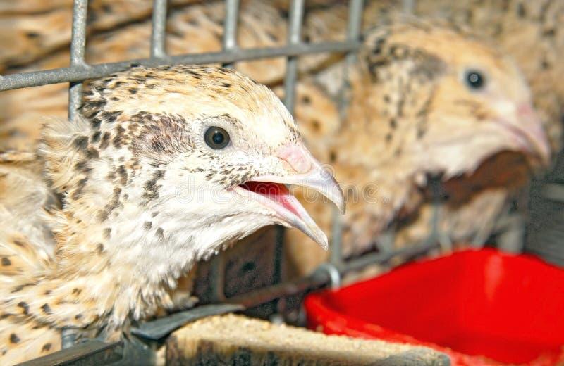 Download Hens Stock Image - Image: 23581721