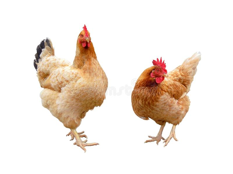 Download Hens Stock Photography - Image: 24329642