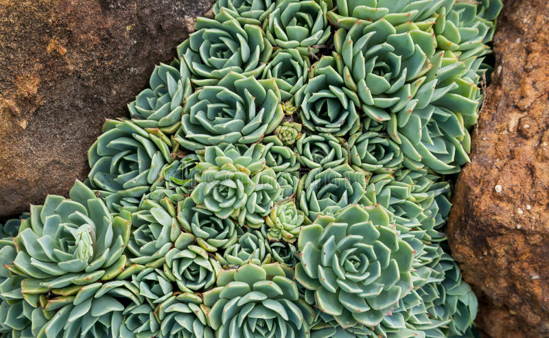 Hens and Chicks (Echeveria elegans) between two rocks stock photo