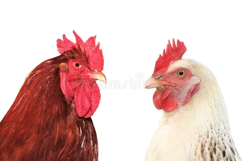 Hens in coop. stock image