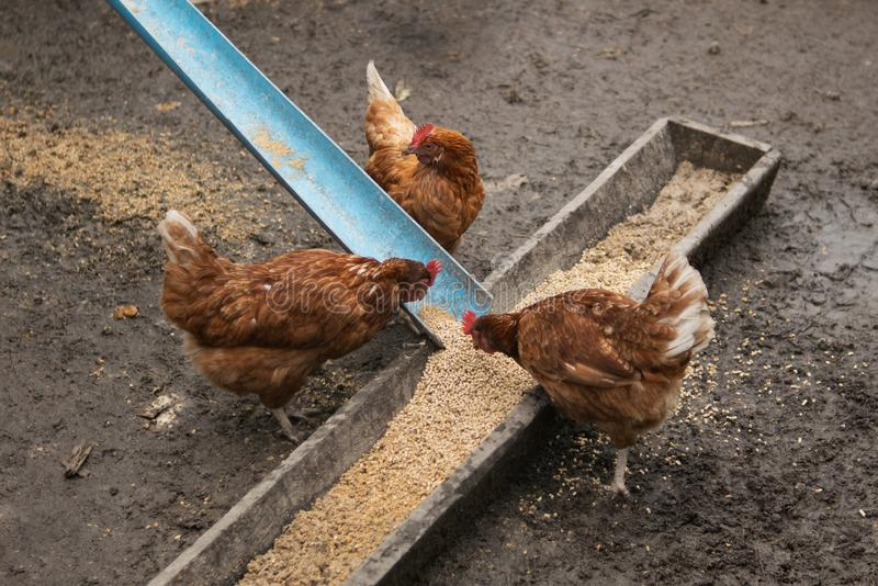 Hens in a farm eating food.  royalty free stock image