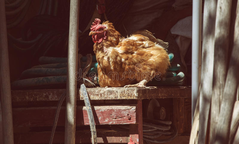 Hens feed on the traditional rural barnyard at sunny day. Chickens sitting on working tools in old shed. Close up of chicken royalty free stock photo