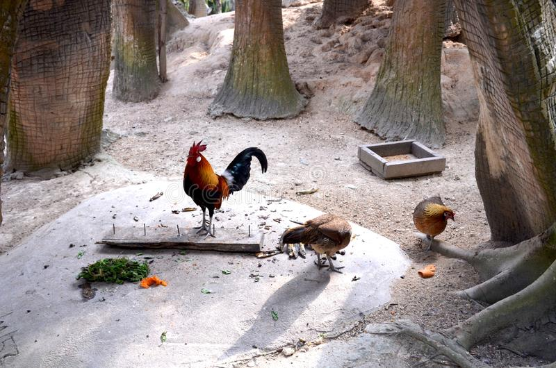 Hens and rooster with bright plumage walk among the trees.  royalty free stock images