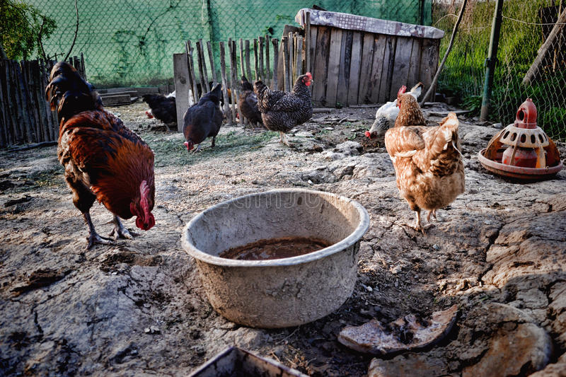 Hens and rooster feed on traditional rural farm yard. Free range breed stock photo