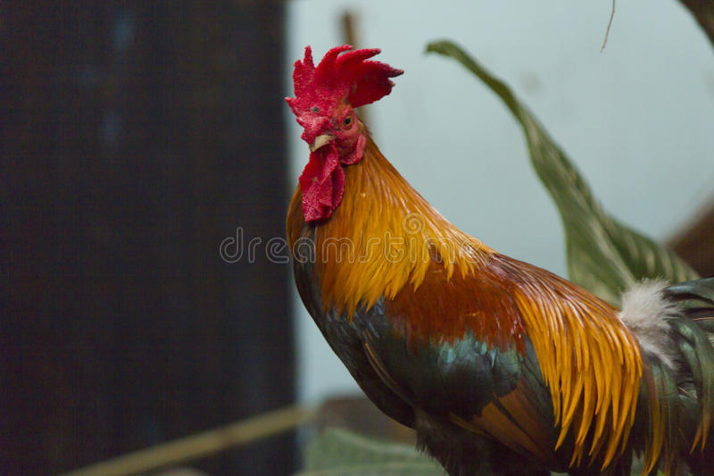 Hens and roosters. For days on end go in search of food royalty free stock photos
