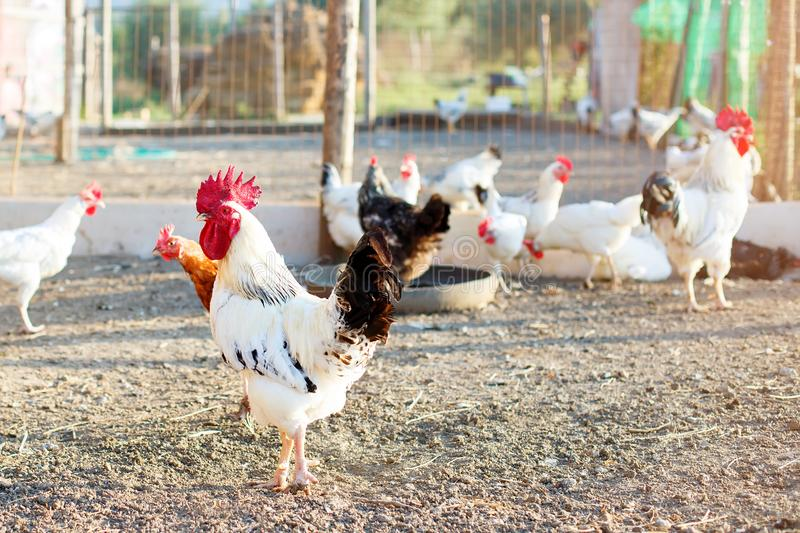 Chicken on a poultry farm. royalty free stock image