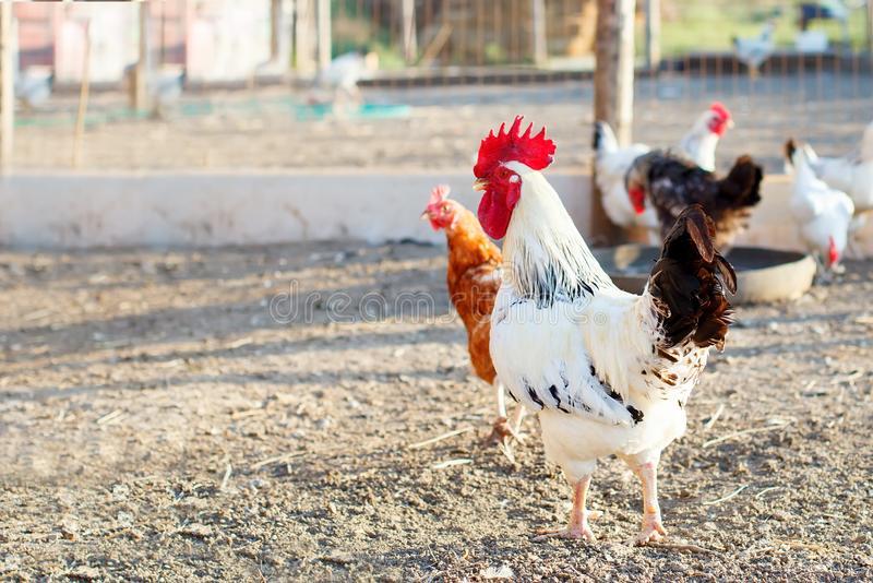 Chicken on a poultry farm. stock image