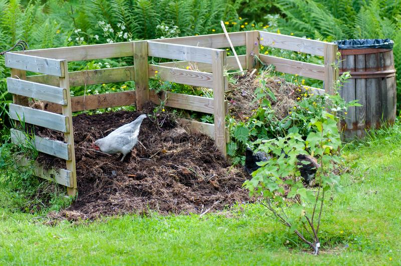 Hens working in the garden compost royalty free stock photos
