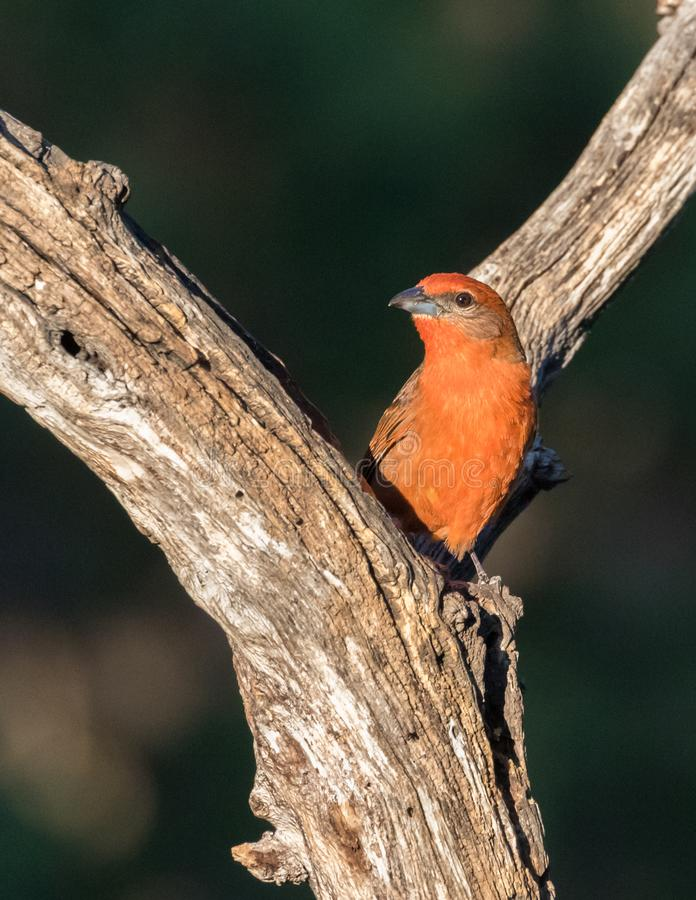 Hepatic Tanager hittades i Arizona royaltyfria foton