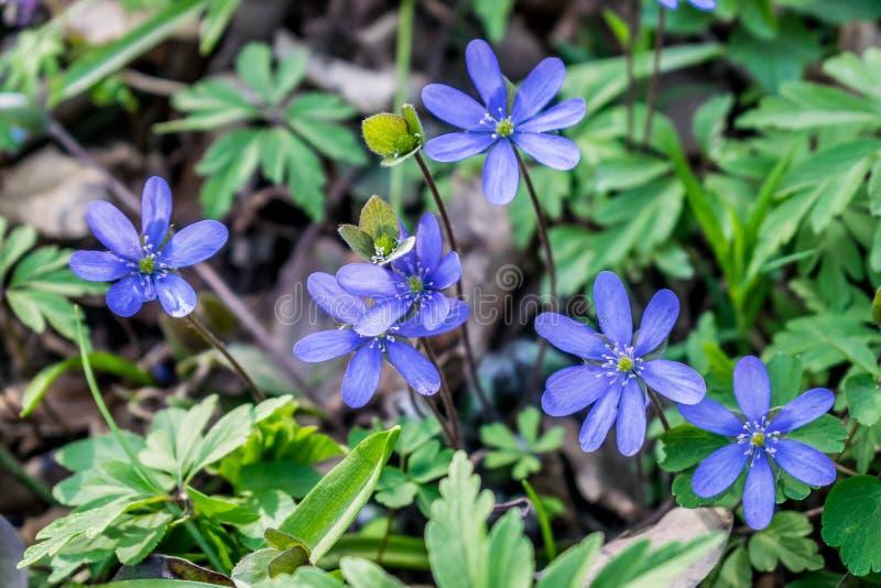 Hepatica花绽放在4月 库存图片