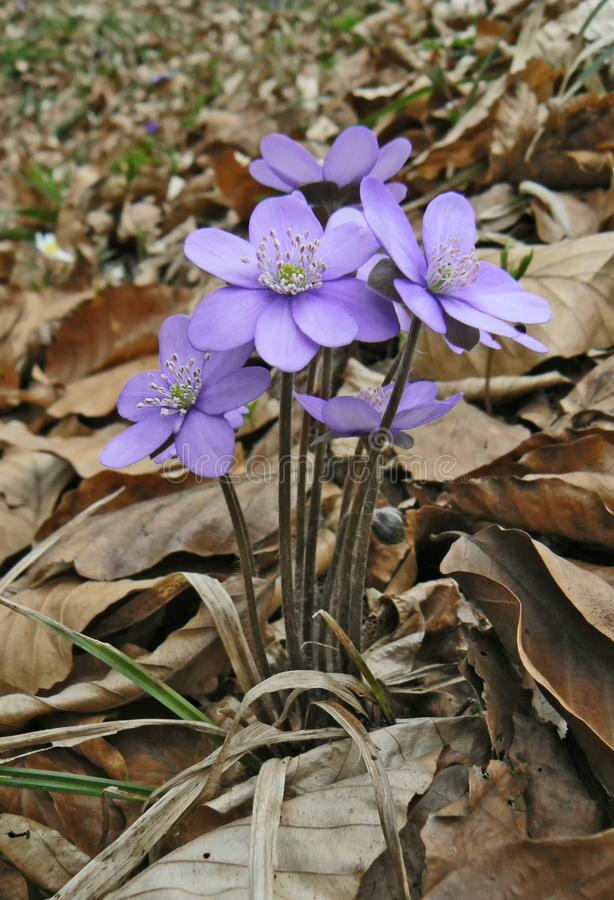 Hepatica in bloom. In the forest royalty free stock photo