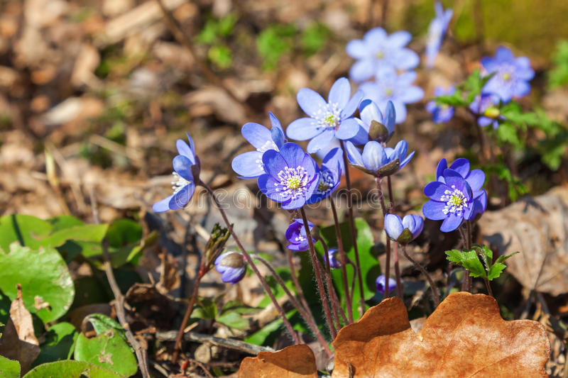 Hepatica that bloom in early spring stock image