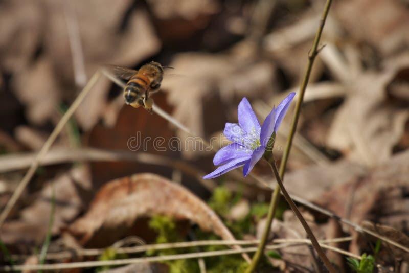 Hepatica comum do hepatica azul da anêmona, liverwort, kidneywort, flor do pennywort com abelhas Honey Bees, mellifera dos Apis imagens de stock
