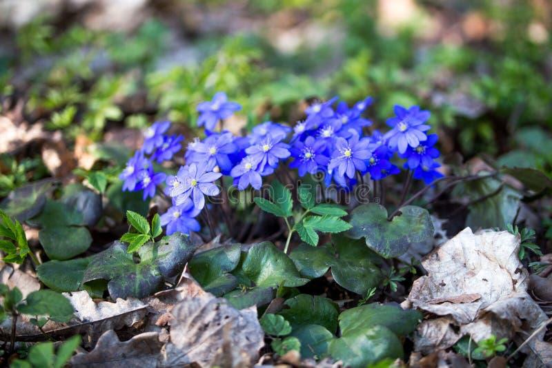 Hepatica nobilis,第一春天蓝色花在森林里在一好日子 免版税图库摄影