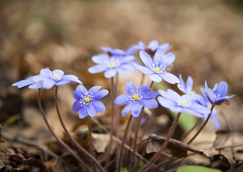 Hepatica nobilis 免版税库存图片