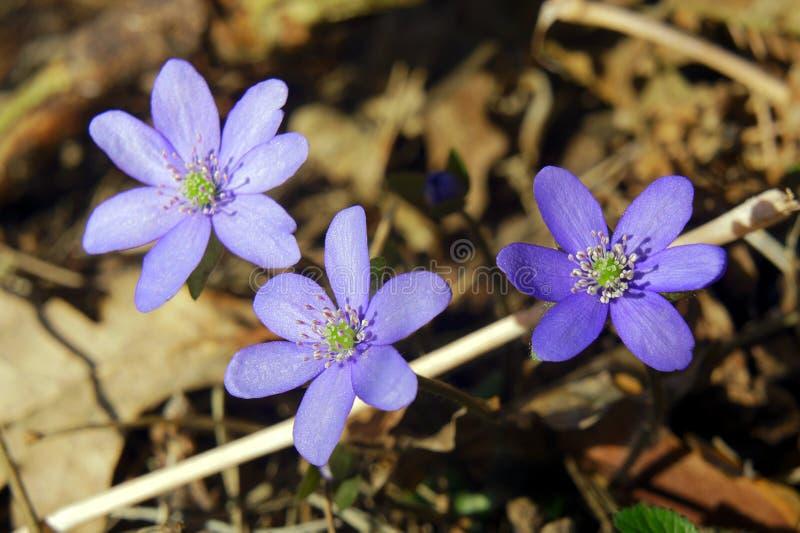 Hepatica nobilis 图库摄影