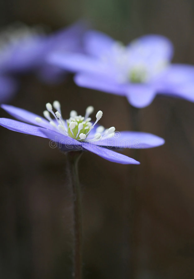 Download Hepatica Nobilis photo stock. Image du nature, centrales - 727896