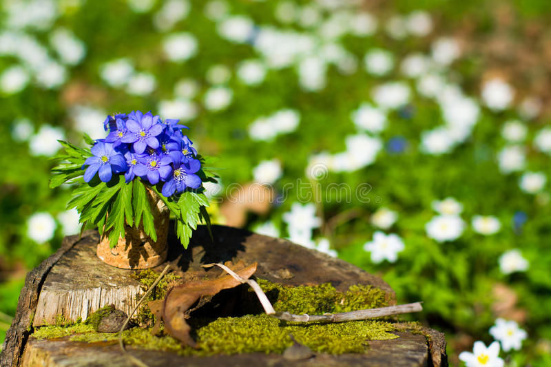 Hepatica nobilis Blaue Waldblumen stockfotos