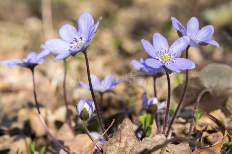 Hepatica nobilis in bloom, early spring wildflowers stock photo
