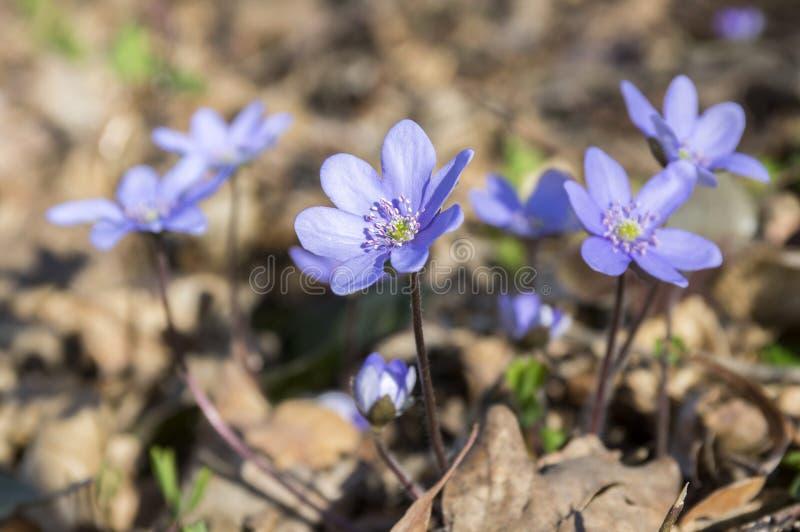Hepatica nobilis in bloom, early spring wildflowers stock photos