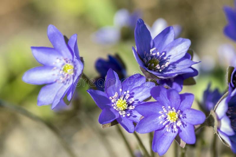 Hepatica nobilis in bloom, group of blue violet purple small flowers, early spring wildflowers royalty free stock image