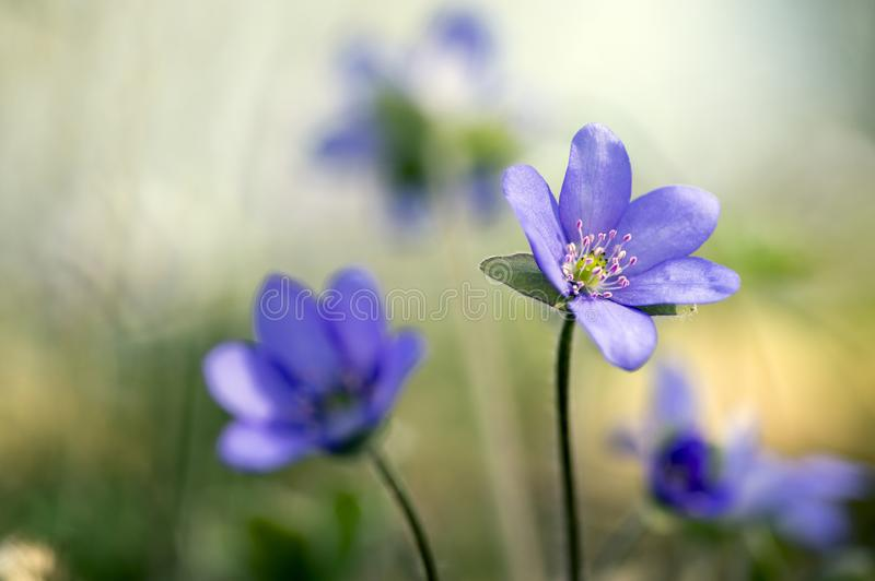 Hepatica nobilis in bloom, group of blue violet purple small flowers, early spring wildflowers royalty free stock images