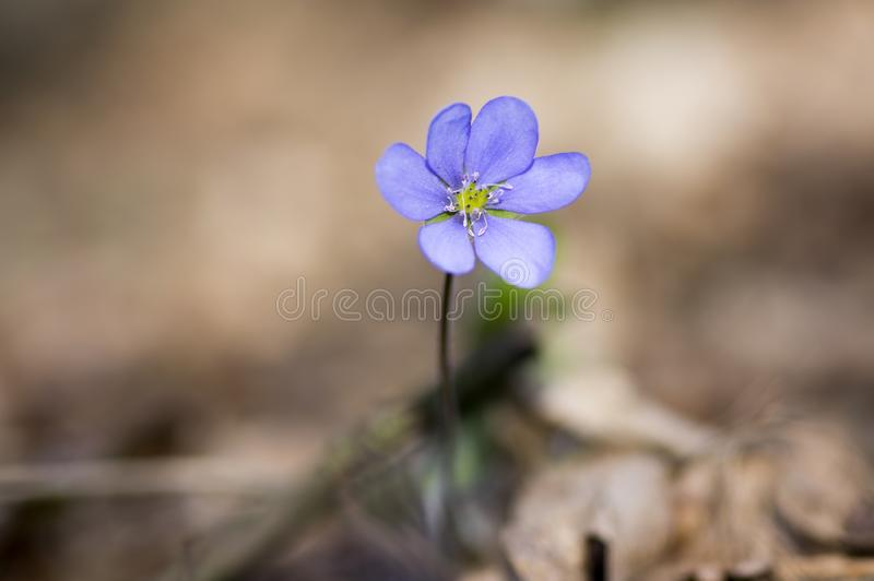 Hepatica nobilis in bloom, single blue violet purple small flowers, early spring wildflowers stock images