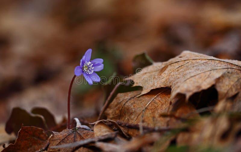 Hepatica nobilis - early spring beauties. One of the first beauties of early spring - Hepatica nobilis stock photo