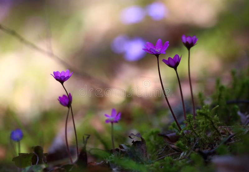 Hepatica nobilis - early spring beauties. One of the first beauties of early spring - Hepatica nobilis. Rare - f. rubra royalty free stock photos
