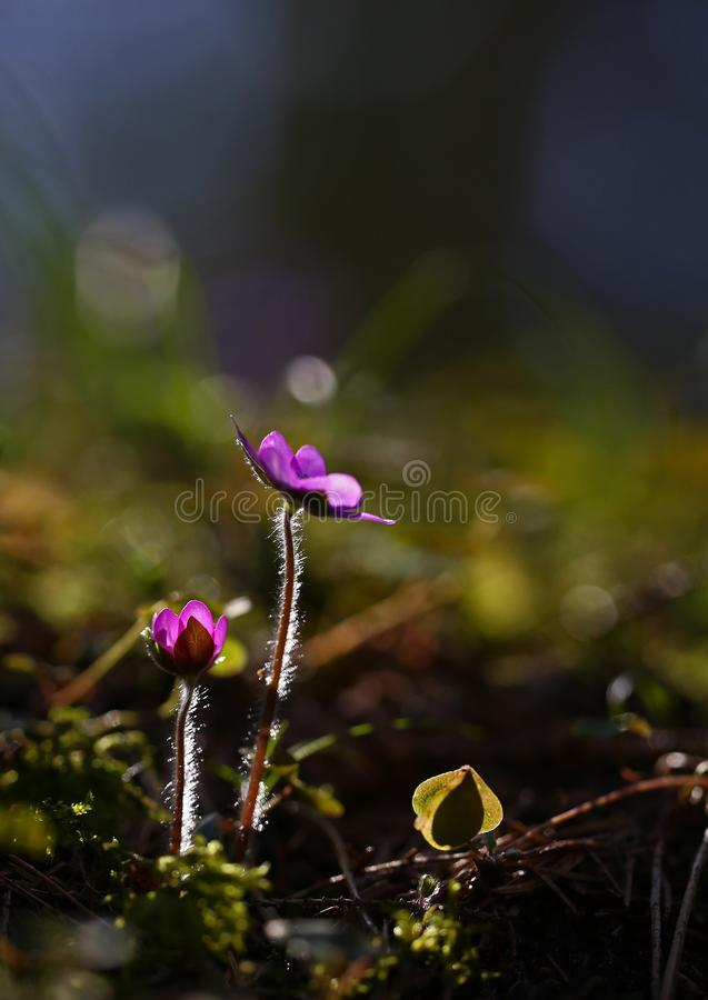 Hepatica nobilis - early spring beauties. One of the first beauties of early spring - Hepatica nobilis. Rare - f. rubra stock photography