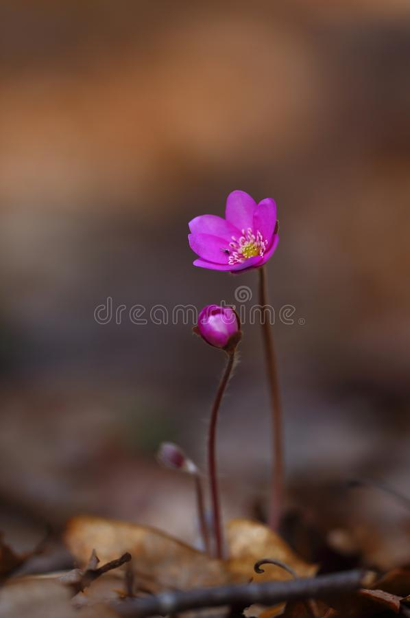 Hepatica nobilis - early spring beauties. One of the first beauties of early spring - Hepatica nobilis. And rere one - f. rubra stock images