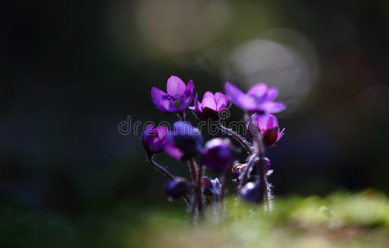 Hepatica nobilis - early spring beauties. One of the first beauties of early spring - Hepatica nobilis. And rere one - f. rubra royalty free stock photo