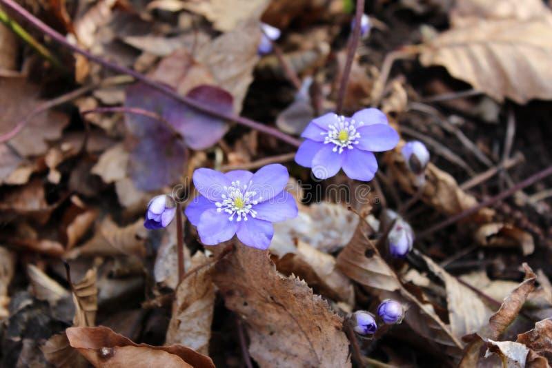 Hepatica nobilis spring purple flowers. Hepatica nobilis small spring purple flowers surrounded with brown leaves on the wet ground royalty free stock image