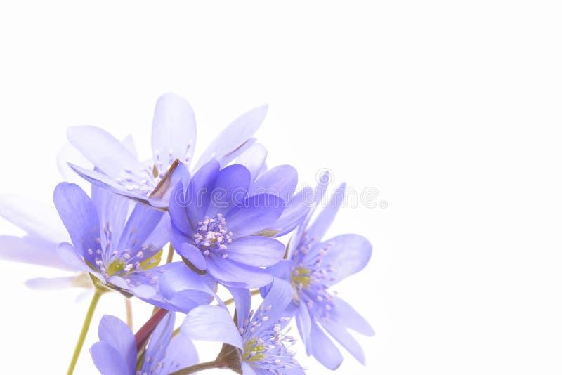 Hepaticatranssilvanica op witte achtergrond stock fotografie