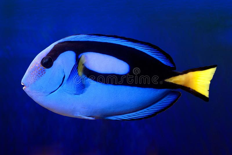 Hepatus azul de Tang Paracanthurus do hipopótamo imagens de stock