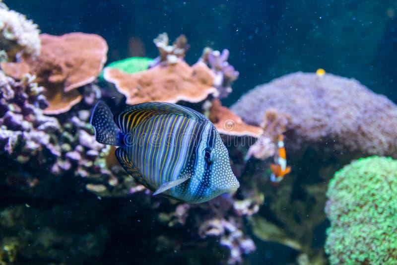 Hepatus azul de Tang Surgeon Fish - de Paracanthurus Mundo subacu?tico maravilloso y hermoso con los corales y los pescados tropi fotografía de archivo
