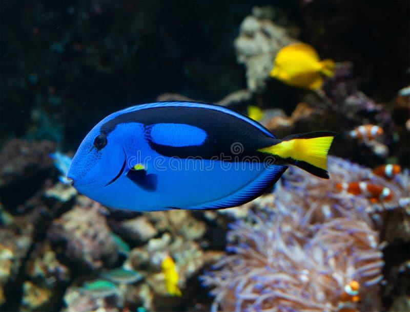Hepatus de Paracanthurus ou Surgeonfish de palette photo stock