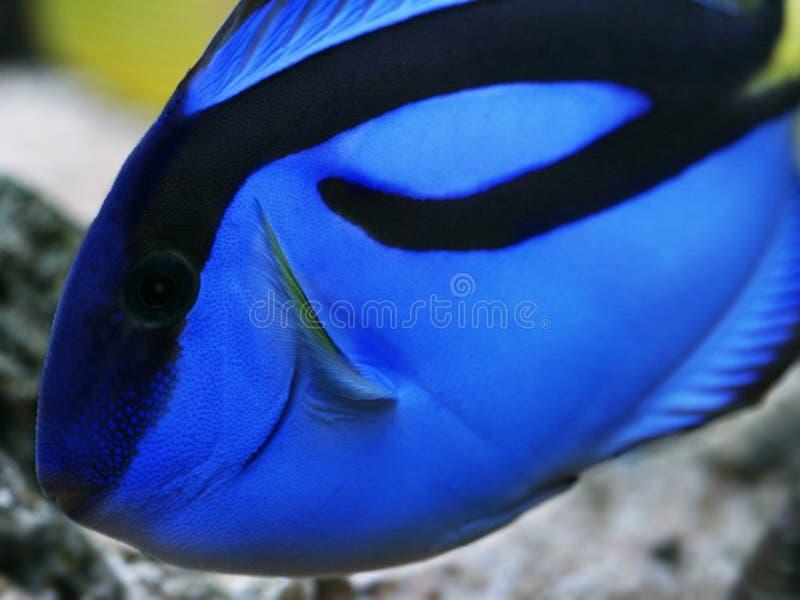 Hepatus real azul del paracanthurus de la espiga imagenes de archivo