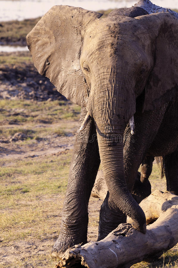 Her majesty the elephant. This picture it was taken in Botswana, Chobe national Park stock images
