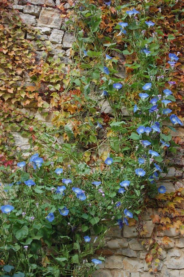 Hera azul da flor na parede de pedra velha foto de stock