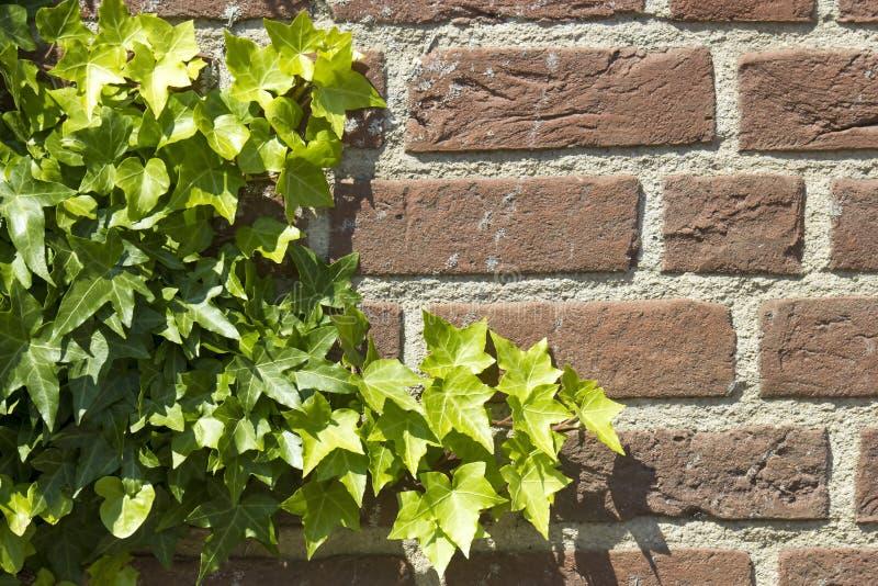 Hera na parede de tijolo foto de stock