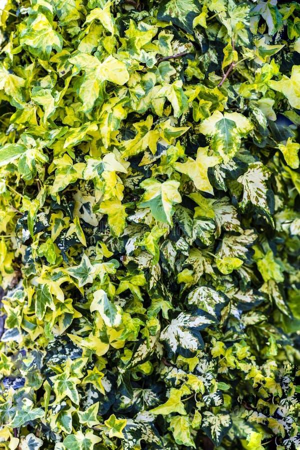 Hera Variegated com as folhas amarelas e verdes fotografia de stock