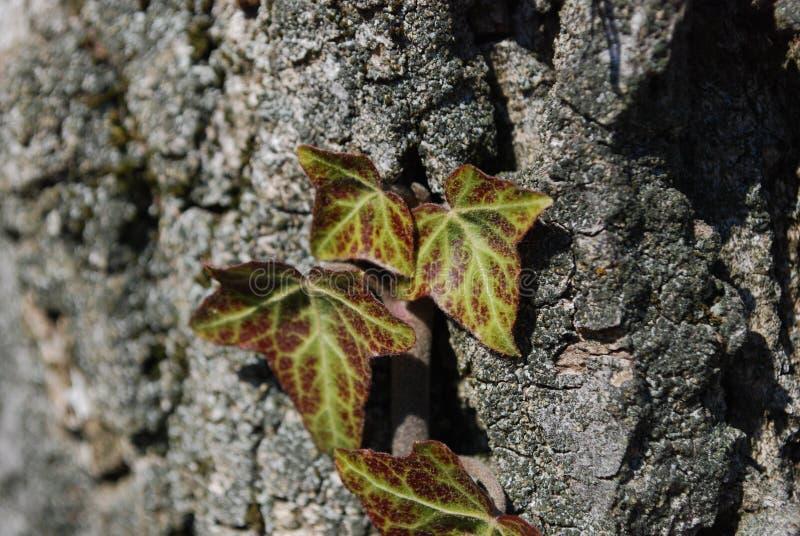 A hera verde e vermelha no alvorecer das forças bloqueia a árvore fotografia de stock