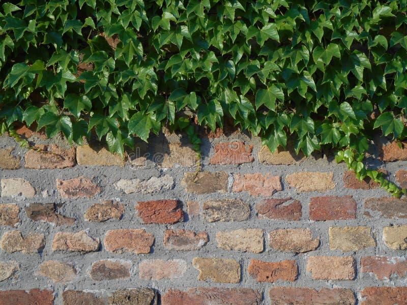 Hera verde em um brickwall, fundo imagens de stock
