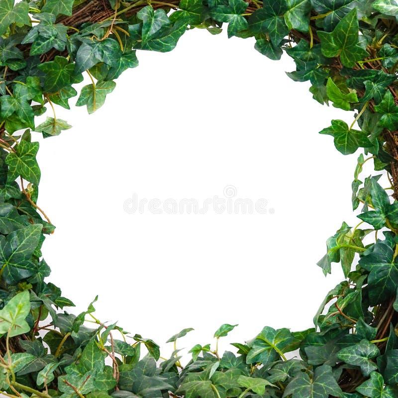 A hera verde folheia modelo Fundo branco fotos de stock